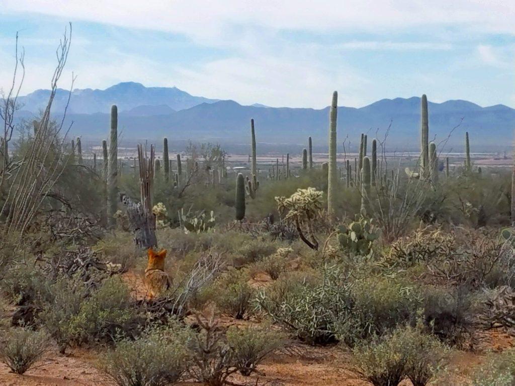 saguaro coyote